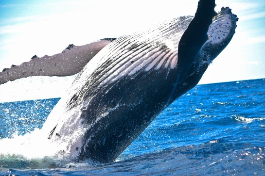 whale-photo-1470114510979-0a6062f10aee